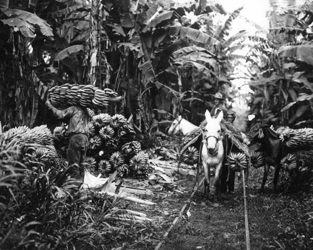 Guatemala Banana Plantation